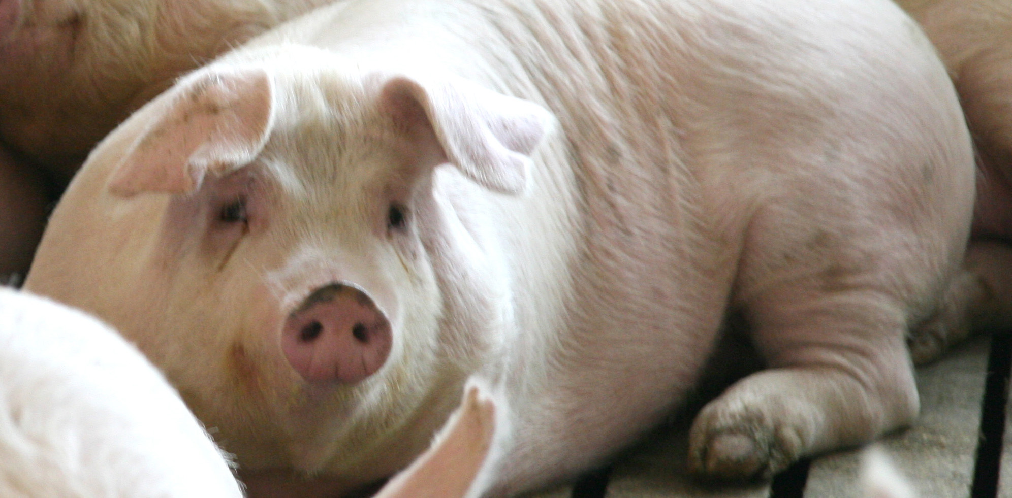 Animal Welfare Sow Housing 003